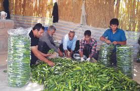 خرید خیارشور خاردار برای صادرات